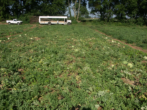 vegetable production guide for commercial growers